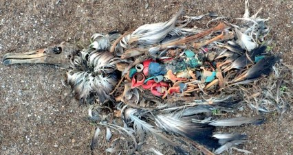 albatross dying from eating plastic