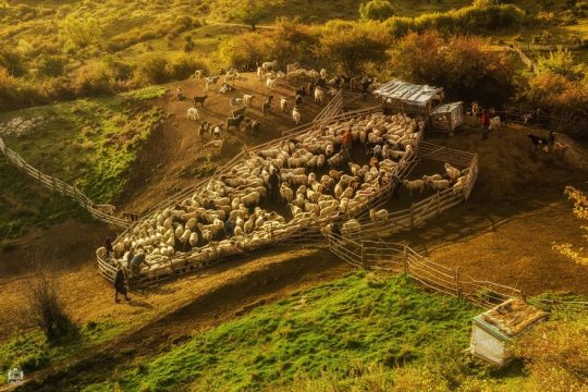 alesul oilor